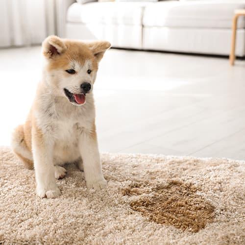 Puppy-stain